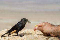 Den svarta fågeln på stenen och feededs av handen för man` s med brödskorpa Arkivbild