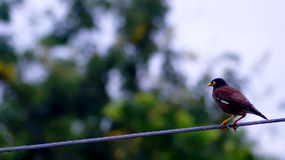 Den svarta fågeln sätta sig på en tråd i Thailand Arkivfoton