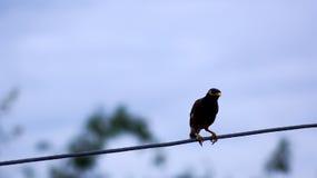 Den svarta fågeln sätta sig på en tråd i Thailand Arkivbilder