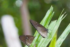 Den svarta fjärilen äter salt aning på bladet av gömma i handflatan Arkivfoto