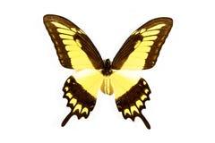den svarta fjärilen isolerade papiliothoasyellow Royaltyfri Bild
