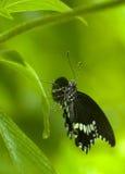den svarta fjärilen räknade vita liten droppe Royaltyfri Fotografi
