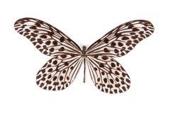 den svarta fjärilsidén isolerade stolliwhite royaltyfria foton