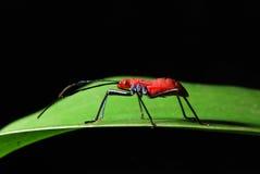 den svarta flugan isolerade little den satta tråden Royaltyfri Foto