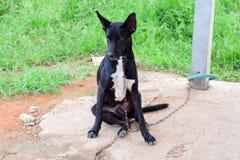 Den svarta framsidan av hunden, stänger sig upp thai hund arkivbilder