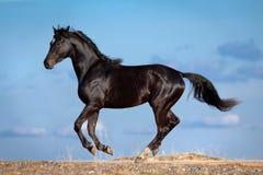 Den svarta hästen galopperar på kullen. royaltyfria foton