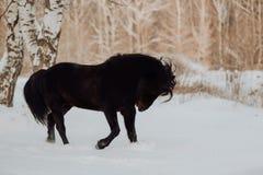 Den svarta hästen kör galopp i vinter på den vita insnöade skogen royaltyfri fotografi