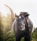 Den svarta hästen skakar upp och har den roliga framsidan, ståenden, slut Fotografering för Bildbyråer
