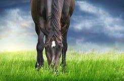 Den svarta hästen som in betar, betar mot bakgrund av stormig himmel Royaltyfria Bilder