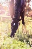 Den svarta hästen som betar på sommar, betar arkivfoto