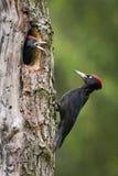 Den svarta hackspetten, Dryocopus martius som matar dess fågelungar, för de ska ha det första flyget ut Att bygga bo hålet är i g arkivbilder