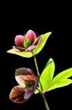 den svarta helleborusen isolerade ladyred Royaltyfri Fotografi