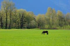 den svarta hästen betar Royaltyfria Bilder