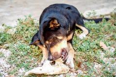 Den svarta hunden äter benet Royaltyfria Bilder
