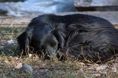 Den svarta hunden Arkivbild