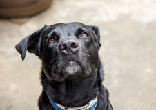 Den svarta hunden Fotografering för Bildbyråer