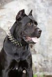 Den svarta hunden Arkivfoto