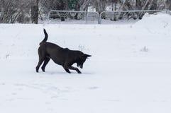 Den svarta hunden försöker att fånga den lilla musen det nederlag i djup snö Arkivfoto