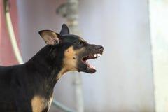 Den svarta hunden i Thailand Royaltyfria Bilder