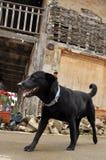 Den svarta hunden Labrardor går den gammala townen Arkivbilder