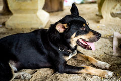 Den svarta hunden ligger i sommar Arkivfoton