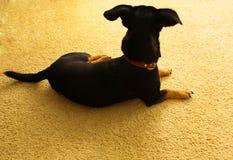 Den svarta hunden ligger på mattan, sikt från baksidan royaltyfri fotografi