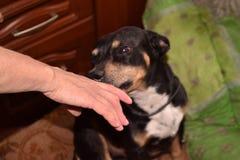 Den svarta hunden lismar till lyxfnasket Royaltyfria Bilder