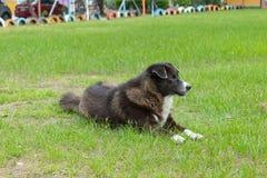 Den svarta hunden som lägger på gräsmattan arkivfoton
