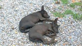 Den svarta hunden sover Royaltyfri Fotografi