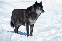 Den svarta kanadensiska vargen står på en vit snö close upp Pambasileus f?r Canislupus arkivfoto