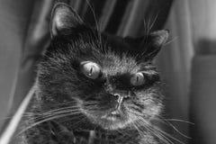 den svarta katten eyes yellow Royaltyfria Foton