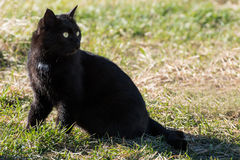 den svarta katten eyes yellow Fotografering för Bildbyråer