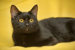 den svarta katten eyes yellow Arkivbilder