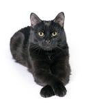 Den svarta katten ligger på en vit bakgrund, ser i kameran Royaltyfri Bild