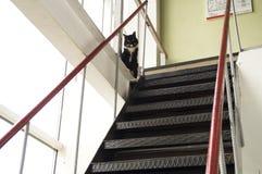 Den svarta katten med den vita kragen skyddar den branta metalltrappan Fotografering för Bildbyråer