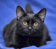 Den svarta katten med guling synar på en blå bakgrund arkivfoto