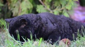Den svarta katten med guling synar utomhus- Den svarta katten ligger utanför på gräset Selkirk rexkatt som äter gräs i trädgården arkivfilmer