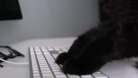 Den svarta katten skriver text på ett datortangentbord lager videofilmer