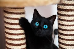 Den svarta katten spelar Arkivfoto