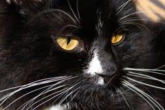 den svarta katten tystar ned Royaltyfri Fotografi