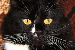 den svarta katten tystar ned Arkivfoto