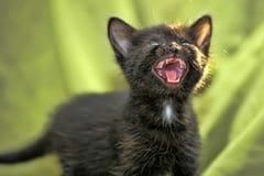 den svarta kattungen mews royaltyfri foto