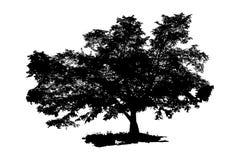Den svarta konturn av ett träd Stort träd som isoleras på vit bakgrund också vektor för coreldrawillustration Arkivfoton