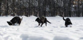 Den svarta labrador spelar i snön Arkivfoton