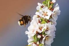 Den svarta lurviga humlan samlar nektar från körsbäret Royaltyfri Foto