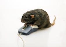 den svarta musen tjaller Fotografering för Bildbyråer
