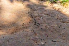 Den svarta myran gick en linje royaltyfria bilder