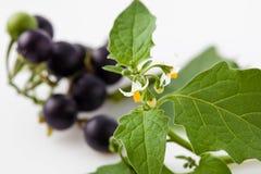 Den svarta nightshaden, blomstrar, bär frukt, sidor, blomningar som är giftiga Royaltyfria Bilder