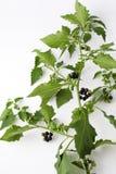 Den svarta nightshaden, blomstrar, frukter, sidor, giftig växt Royaltyfria Foton