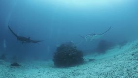 Den svarta och oceaniska mantastrålen flyger stock video